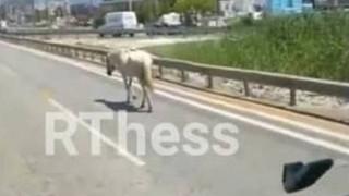 Θεσσαλονίκη: Άλογο τραυματίστηκε έπειτα από σύγκρουση με αυτοκίνητο