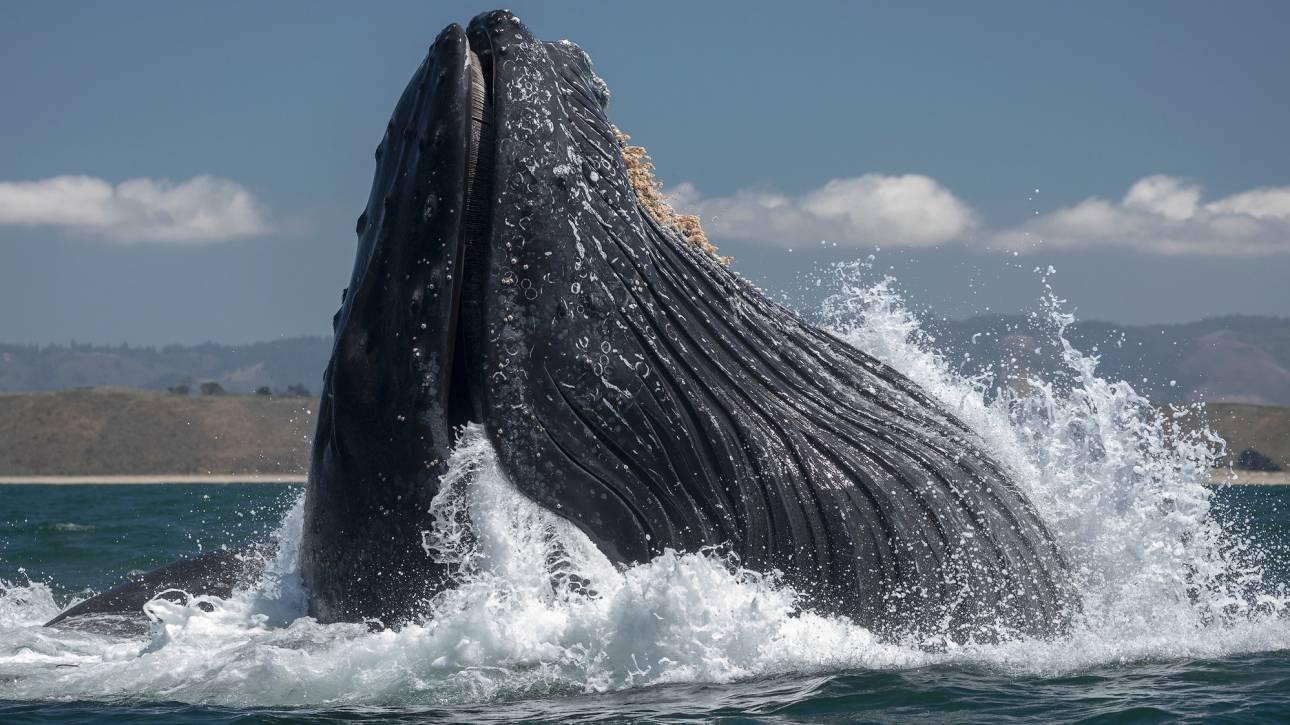 Σπάνια φωτογραφία: Θαλάσσιο λιοντάρι γλιστρά στο στόμα φάλαινας
