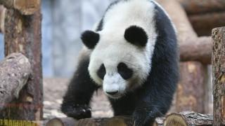 Εξωτικές τούρτες για τα γενέθλια δύο κινεζικών πάντα στον ζωολογικό κήπο της Μόσχας