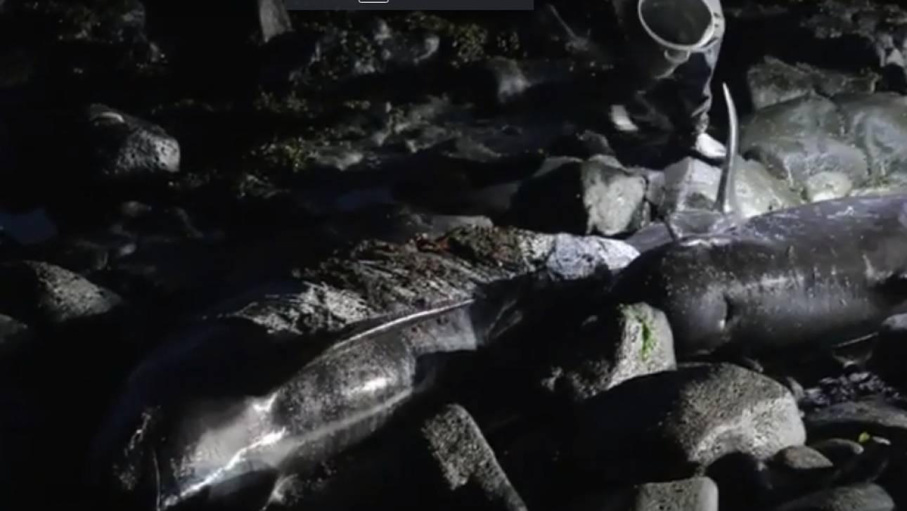 Μυστήριο φαινόμενο στις ακτές της Ισλανδίας: 50 φάλαινες ξεβράστηκαν στη στεριά