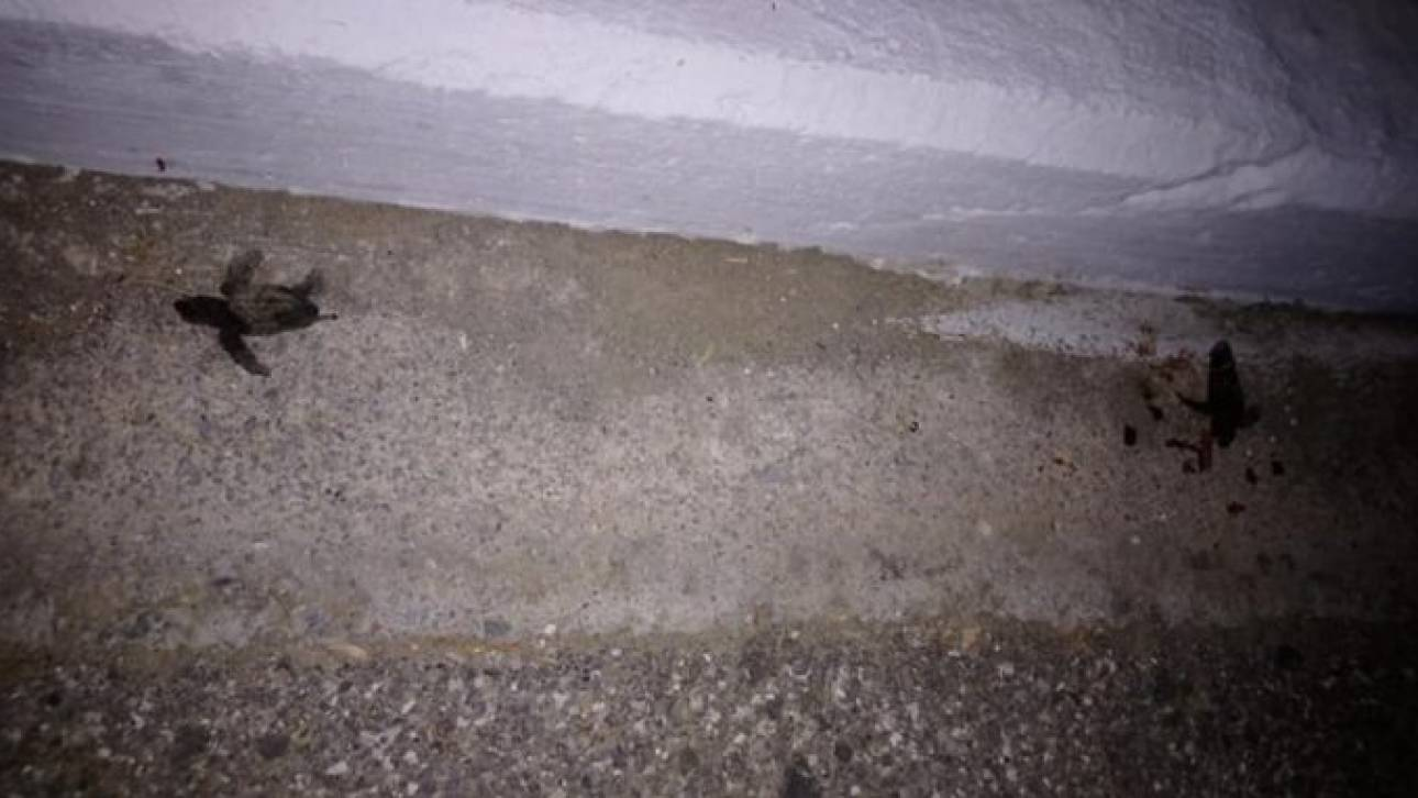 Χανιά: Ο δρόμος στο Μάλεμε γέμισε νεκρά χελωνάκια