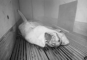 1983, Κονέκτικατ. Ένας λευκός καρχαρίας, μήκους 6 μέτρων και βάρους 1.600 κιλών πιάστηκε από δύο ψαράδες μετά από 10 ώρες μάχης. Είναι ένας από τους μεγαλύτερους καρχαρίες που έχουν εντοπιστεί ποτέ.