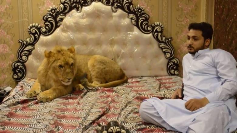 Ένα κατοικίδιο για... τολμηρούς: 33χρονος έχει λιοντάρι ελεύθερο στο σπίτι του