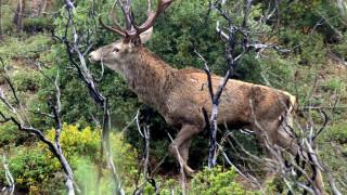 Οι λύκοι της Πάρνηθας απειλούν τα ελάφια: Αποκαλυπτική έρευνα