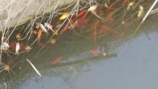 Κρήτη: Εκατοντάδες νεκρά ψάρια στο φράγμα Αποσελέμη (pics)