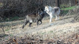Κοπάδι λύκων κατέβηκε στο Πήλιο - Σε απόγνωση οι κάτοικοι