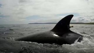 Η Ρωσία απελευθέρωσε τις τελευταίες όρκες - Αιχμάλωτες παραμένουν 75 φάλαινες μπελούγκα