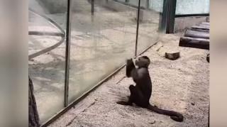 «Prison Break» στο… περίπου από μια μαϊμού