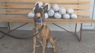 Avra: Ο σκύλος της αστυνομίας εντόπισε ακατέργαστη κάνναβη σε κρύπτη αυτοκινήτου