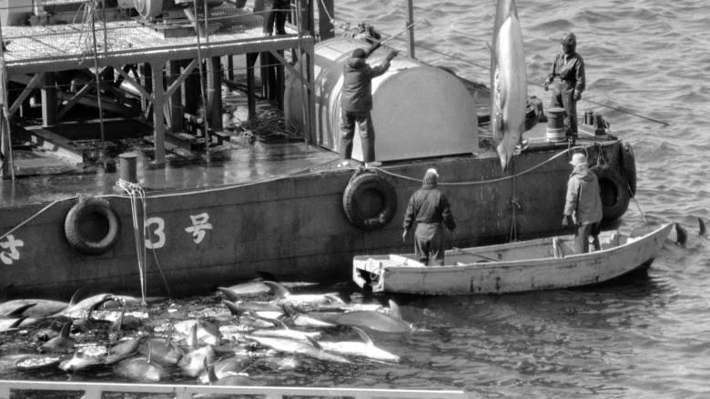 Η σφαγή των δελφινιών: Η Ιαπωνία άρχισε και φέτος το αμφιλεγόμενο κυνήγι στο Ταΐτζι