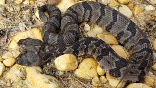 «Διπλός Ντέιβ»: Ένα σπάνιο... διμούτσουνο φίδι