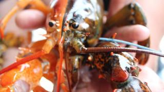 Ένας στα 50 εκατομμύρια: Εξαιρετικά σπάνιο αστακό έπιασε ψαράς στις ΗΠΑ