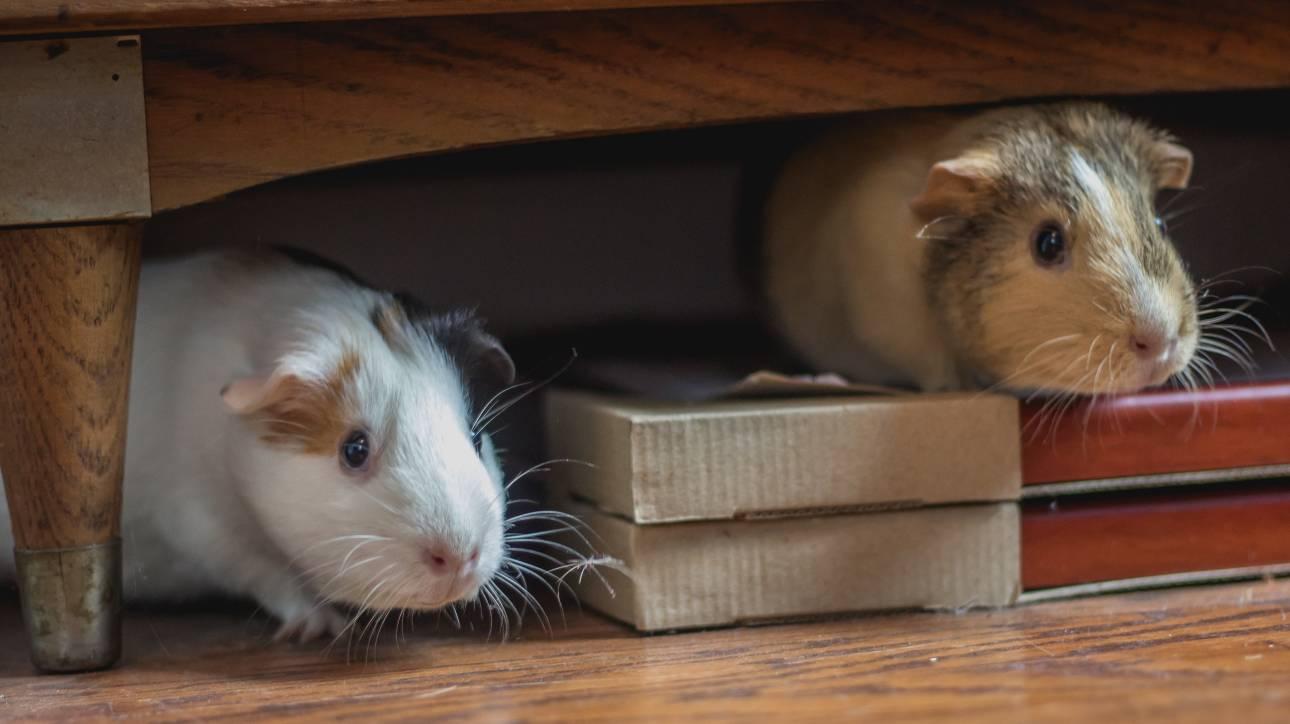 «Επανάσταση» στη νευροεπιστήμη: Ποντίκια έμαθαν να… παίζουν κρυφτό