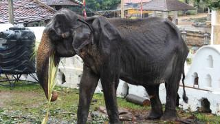 «Τέλος στο μαρτύριο»: Πέθανε ο αποστεωμένος ελέφαντας που είχε προκαλέσει παγκόσμια αίσθηση