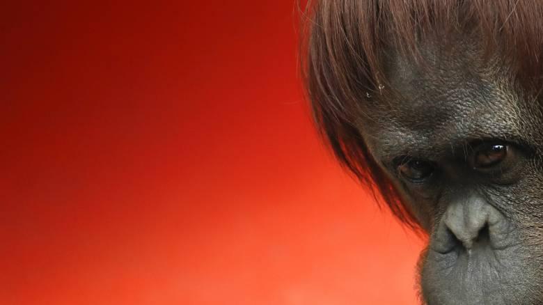 Έχουν τα ζώα ατομικά δικαιώματα; Ένας ουρακοτάγκος και μια δικαστική απόφαση αλλάζουν τα πάντα