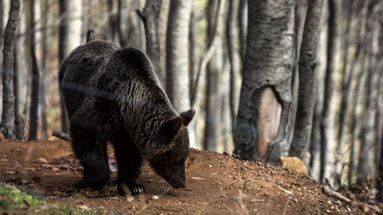 Συναγερμός στη Φλώρινα λόγω αρκούδας που εθεάθη σε κατοικημένη περιοχή