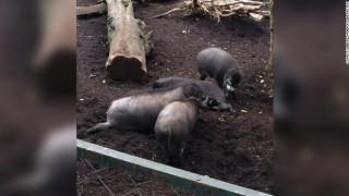 Εντυπωσιακό: Γουρούνια καταγράφηκαν να χρησιμοποιούν εργαλεία για πρώτη φορά