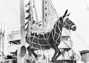 1945, Ελλάδα. Ένα από τα δεκάδες μουλάρια που έρχονται στην Ελλάδα ως μέρος της βοήθειας της UNRRA, κατεβαίνει από το πλοίο στο λιμάνι του Πειραιά.