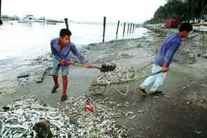 1996, Μανίλα. Εργαζόμενοι στο Yacht Club της Μανίλα καθαρίζουν την ακτή από χιλιάδες νεκρά ψάρια που ξεβράστηκαν στον κόλπο της Μανίλα. Η εκτίμηση είναι ότι περισσότεροι από 30 τόνοι  ψαριών πέθαναν από χημική δηλητηρίαση.