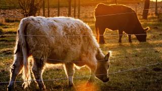 Αγελάδες... undercover: «Μεταμφιέζονται» σε ζέβρες για να γλιτώνουν από τις μύγες!