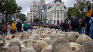 Γιατί χιλιάδες πρόβατα κατέκλυσαν τους δρόμους της Μαδρίτης