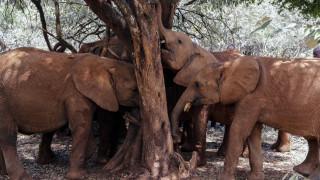 Ζιμπάμπουε: Θύματα της ξηρασίας 55 ελέφαντες - Πέθαναν από πείνα και δίψα