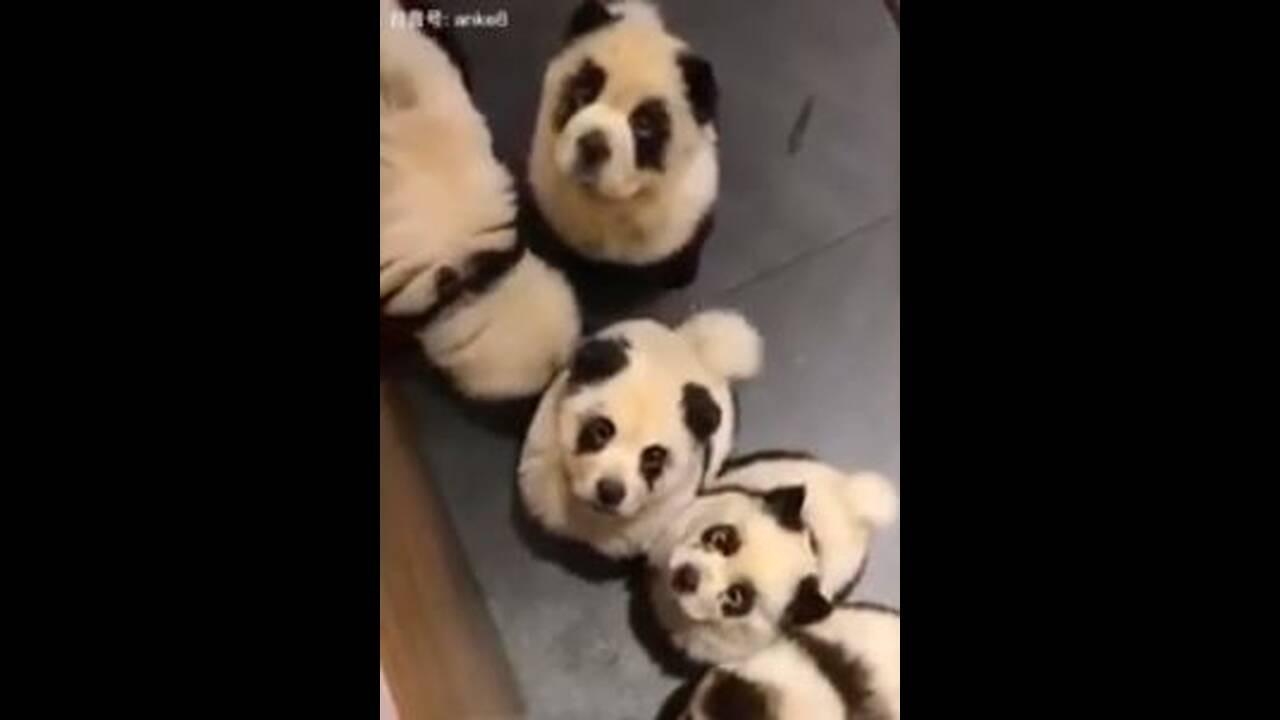 https://cdn.cnngreece.gr/media/news/2019/10/23/194956/photos/snapshot/dog-panda-1.JPG