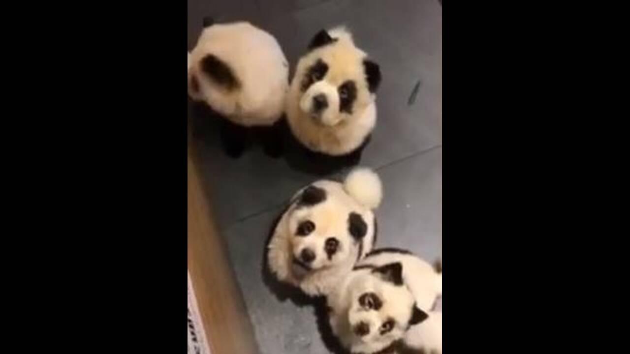 https://cdn.cnngreece.gr/media/news/2019/10/23/194956/photos/snapshot/dog-panda-2.JPG