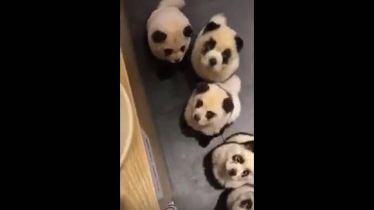 https://cdn.cnngreece.gr/media/news/2019/10/23/194956/photos/snapshot/dog-panda-3.JPG
