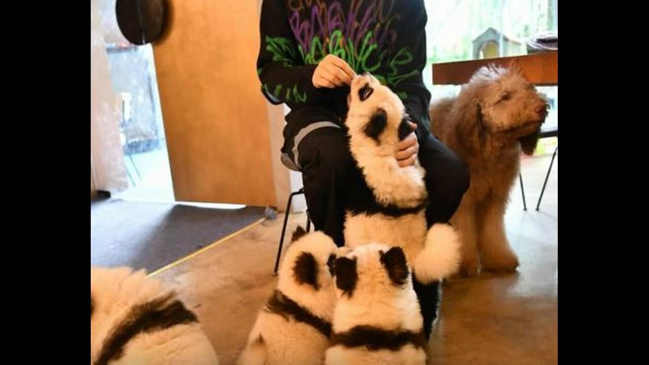 https://cdn.cnngreece.gr/media/news/2019/10/23/194956/photos/snapshot/dog-panda-4.JPG