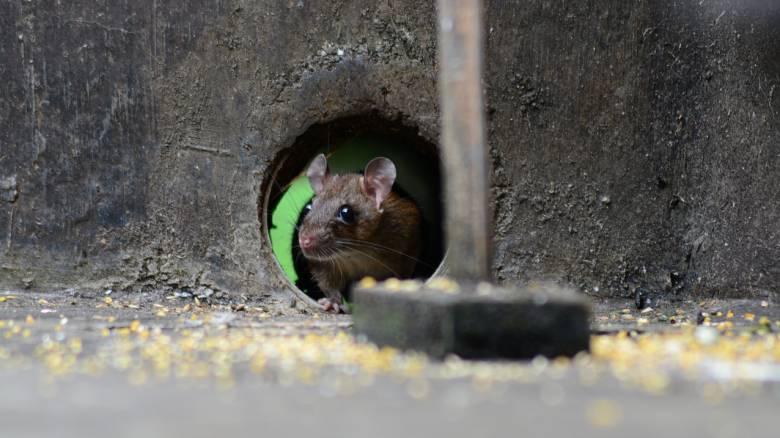 Ερευνητές έμαθαν σε ποντίκια να... οδηγούν μικροσκοπικά αυτοκίνητα