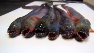 Warasubo: Το μυστηριώδες θαλάσσιο πλάσμα που θυμίζει κάτι από... «Alien», τρελαίνει τους Ιάπωνες