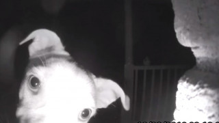 Απίστευτος σκύλος χτυπάει το… κουδούνι τα ξημερώματα γιατί τον είχαν ξεχάσει έξω
