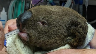 SOS για τα κοάλα της Αυστραλίας: Φόβοι πως εκατοντάδες σκοτώθηκαν σε πυρκαγιά