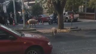 Γουρούνια πήγαν για... καφέ: Άναυδοι οι θαμώνες καφετέριας στη Θεσσαλονίκη