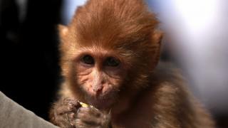 Ινδία: Μαϊμού σκότωσε βρέφος με πέτρα