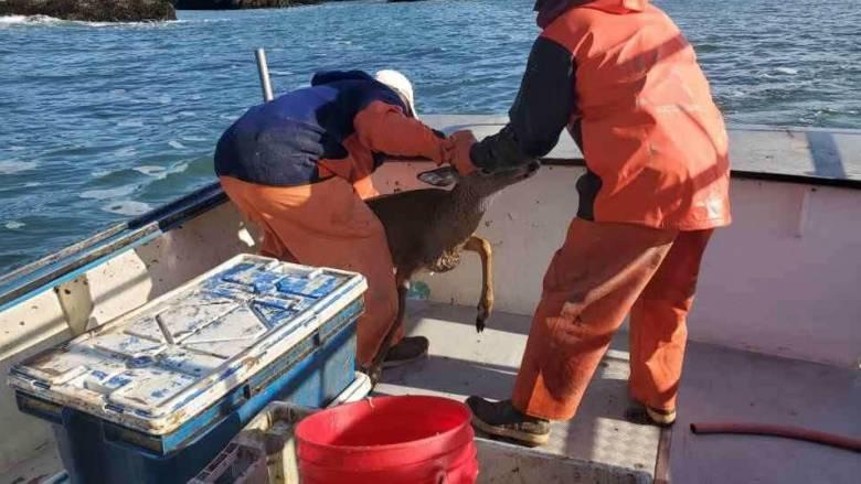 Ψαράδες - σωτήρες: Διέσωσαν από τη θάλασσα ένα... ελάφι