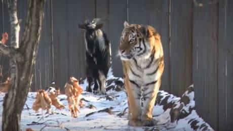 Μια φιλία που χώρισε ο θάνατος: Πέθανε ο τράγος Τιμούρ, ο καλύτερος φίλος του τίγρη Αμούρ (vids)