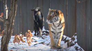 Μια φιλία που χώρισε ο θάνατος: Πέθανε ο τράγος Τιμούρ, ο καλύτερος φίλος του τίγρη Αμούρ