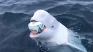 Φάλαινα μπελούγκα παίζει με μπάλα του ράγκμπι και γίνεται viral
