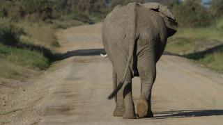 Αιχμαλώτισαν τον ελέφαντα «Μπιν Λάντεν» - Σκότωσε πέντε ανθρώπους στην Ινδία