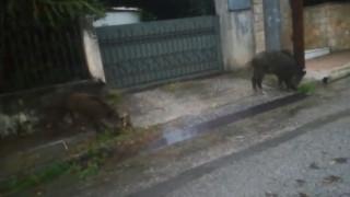 Αγριογούρουνα βγήκαν… βόλτα στις γειτονιές της Ραφήνας