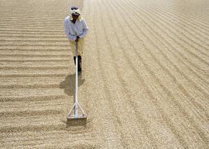 1993, Μανάγκουα. Μια γυναίκα απλώνει τους σπόρους του καφέ σε μια φυτεία λίγο έξω από τη Μανάγκουα, στη Νικαράγουα. Ο καφές αποτελεί το βασικό προϊόν της Νικαράγουα και το 21% των εξαγωγών της χώρας.