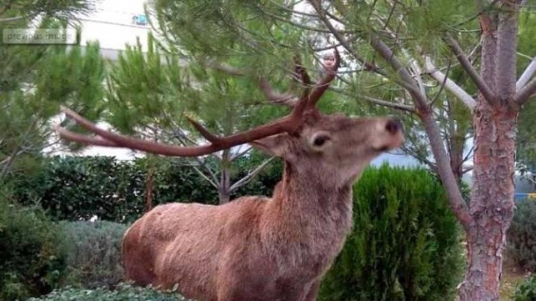 Ελάφι κάνει βόλτες στους Θρακομακεδόνες