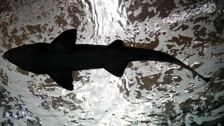 Προσκυνητής: Ένας τεράστιος καρχαρίας αποκαλύπτει ένα ταξίδι 4.600 χιλιομέτρων στον Ατλαντικό