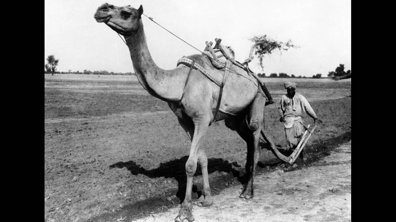 1930, Ινδία. Μια καμήλα, καθοδηγούμενη από έναν χωρικό, τραβάει ένα μακρύ άροτρο, στην Ινδία. Οι καμήλες, στην Ινδία, κάνουν συχνά τη δουλειά των αγελάδων και των βοδιών.