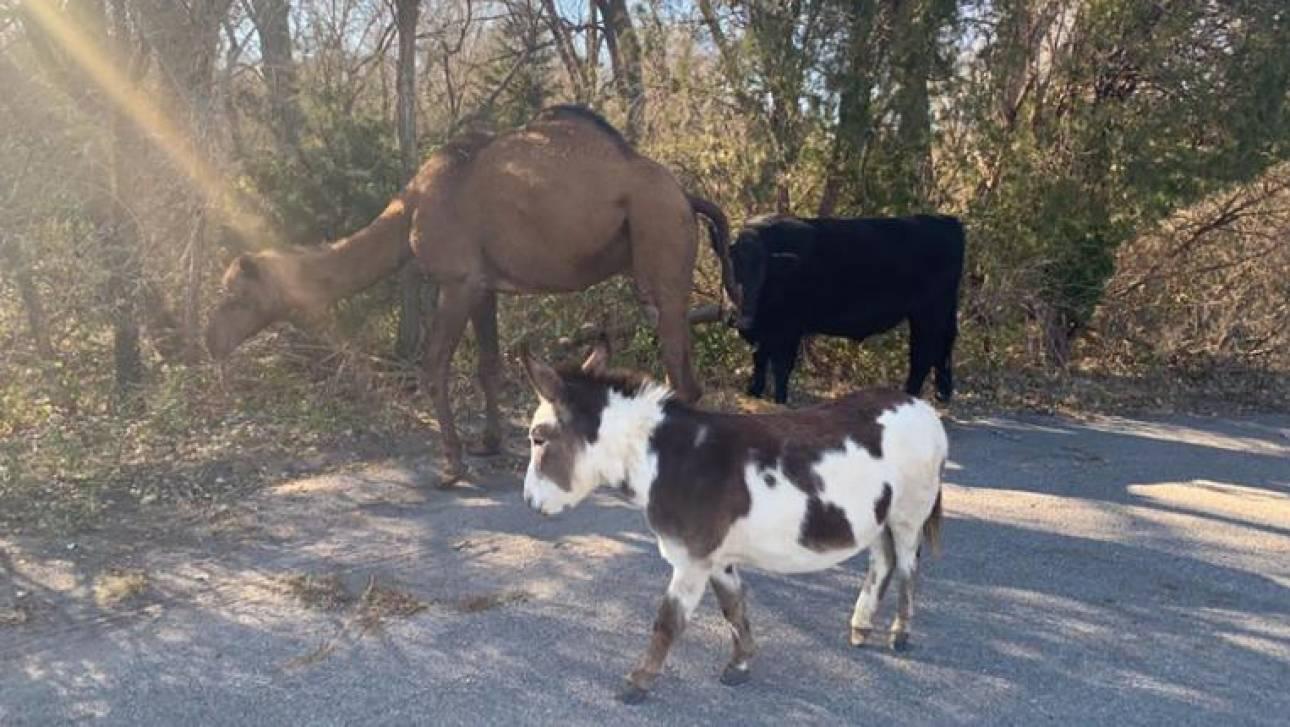 Κάνσας: Σαν να το έσκασαν από τη φάτνη του Χριστού-Καμήλα, αγελάδα και γαϊδούρι περιφέρονταν παρέα