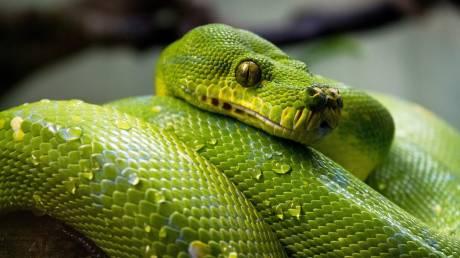 Απολίθωμα αποκαλύπτει πως τα φίδια είχαν πόδια για τουλάχιστον 70 εκατ. χρόνια