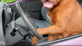 Ένας τετράποδος… Σουμάχερ: Μπήκε στο αυτοκίνητο του αφεντικού του και οδήγησε για μια ώρα