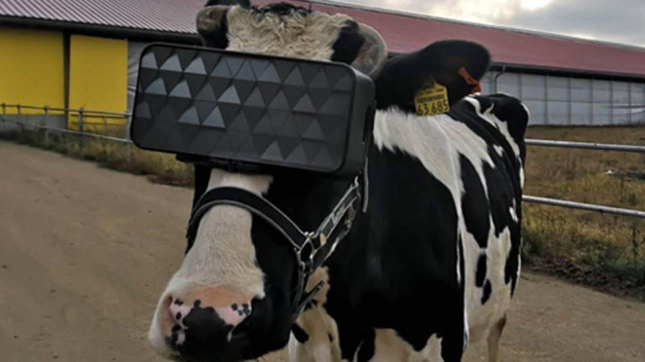 Ρωσία: Γυαλιά εικονικής πραγματικότητας για τις αγελάδες - Τις ηρεμούν και κάνουν καλύτερο γάλα